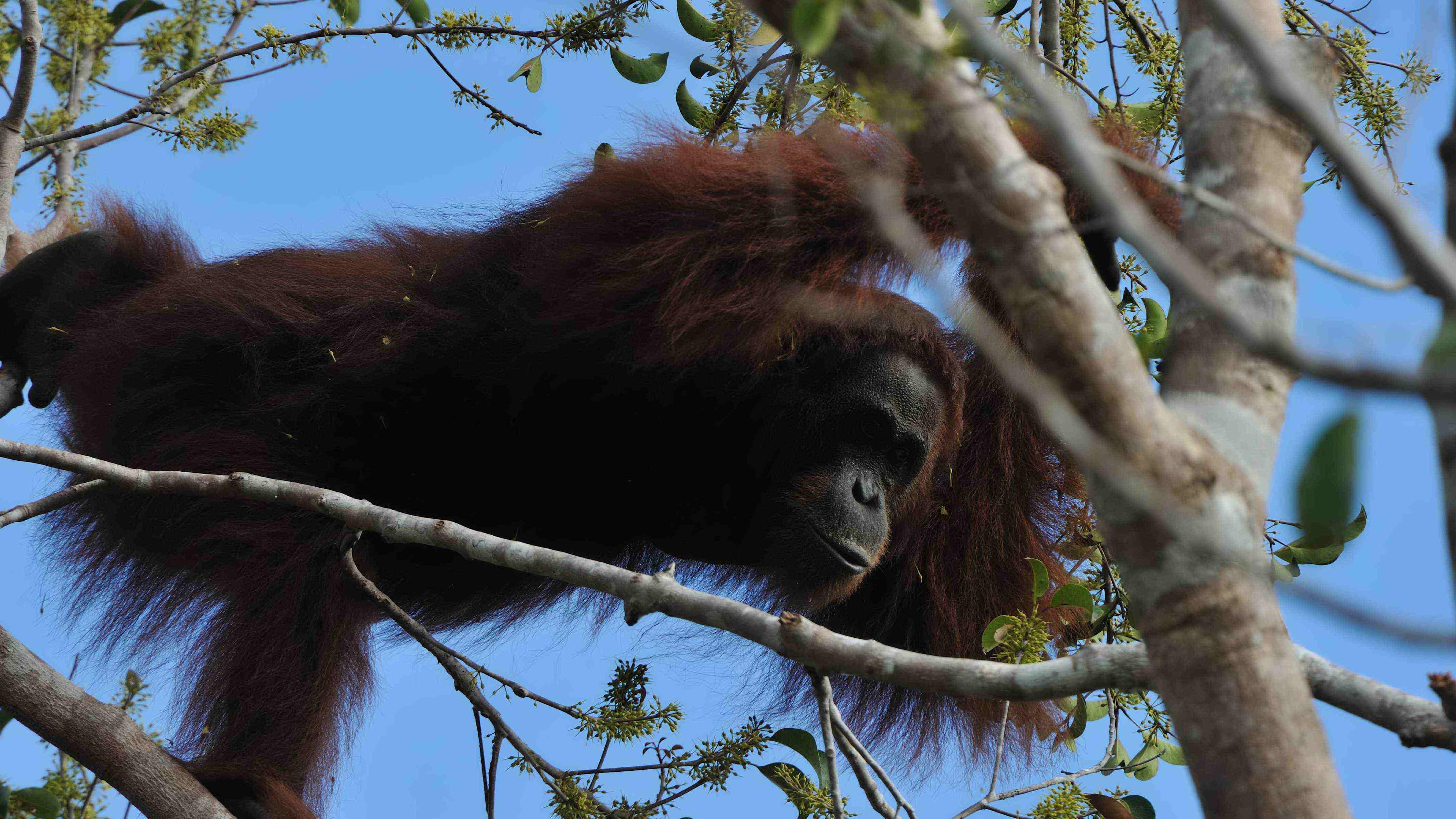 kutai park orangutan jungle wildlife rainforest kalimantan